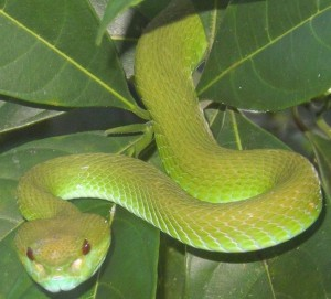 snakes pit viper