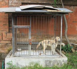 BAWA_180814_3_Singapadu Golden in a cage_enclousre copy edit